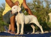 Cachorros Dogo Argentino desde Argentina