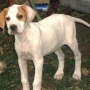 POINTER INGLES cachorrita de 4 meses