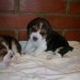 Vendo Cachorritos Beagle