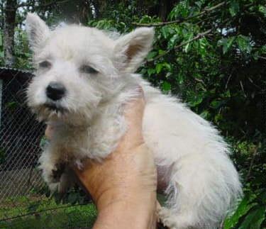 Cachorros pug/chihuahua/westy/bulldog francés