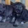 vendo preciosos perritos snauzzer