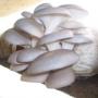 VENTA DE HONGOS OSTRA (Pleurotus ostreatus)
