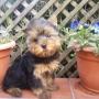 Vendo cachorritos yorkshire terrier