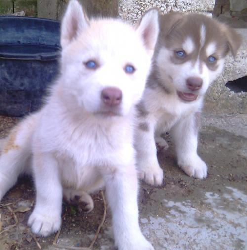 Husky siberiano, cachorros a la venta