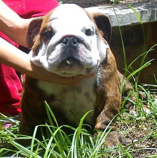 """Bulldog ingles precioso pedigree """"a"""""""