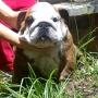 Bulldog Ingles Precioso Pedigree