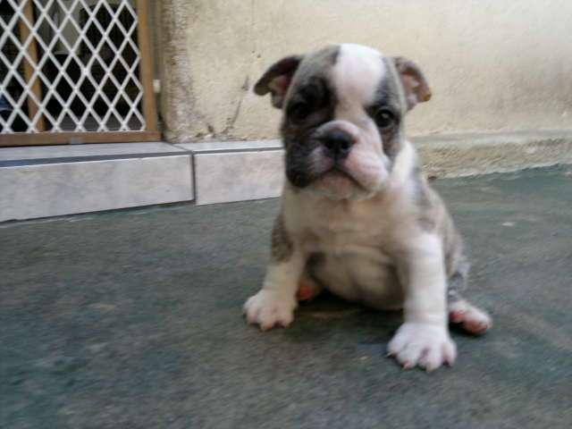 "Bulldog inglés hembra pedigree tipo ""a"""