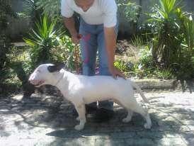 Vendo bull terrier macho de 9 meses