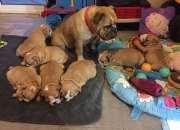 Bulldog ingles cachorras