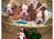 Bulldog ingles para adopcion