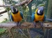 Hablar guacamayo azul y oro loros disponibles.