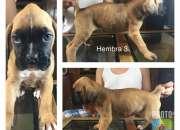 Cachorras boxer 2 meses ultimas 3 vacunadas ex…