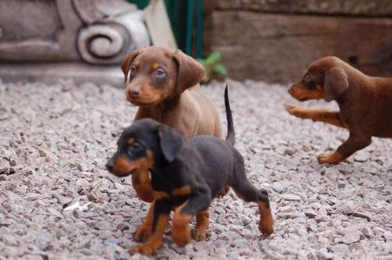 Cachorros doberman de alta calidad